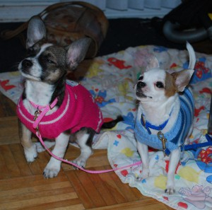 Chihuahuas for Sale in Canada