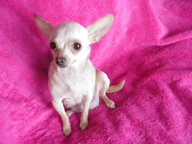 White Deer Head Chihuahua