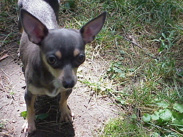 Long Hair Teacup Chihuahua Puppies for Sale in Ottawa