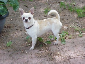 Teacup chihuahua adult males